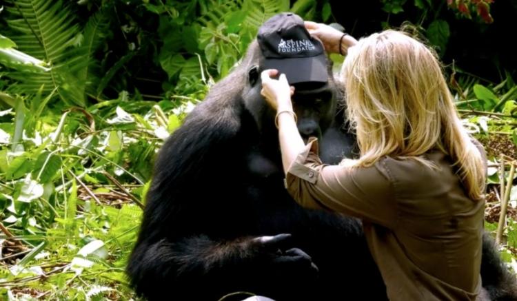 Zachránil 2 gorily a po 6 letech je navštívil se svou novou manželkou. I navzdory varováním se k nim chtěla přiblížit