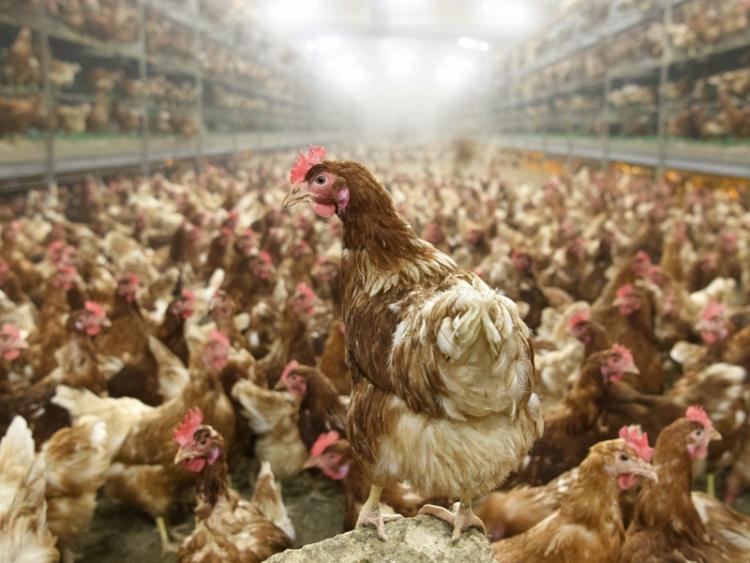 Rusko zakáže dodávky drůbežího masa z Česka