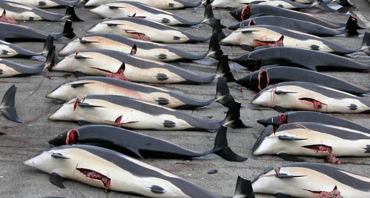 Japonsko tento rok zabilo 177 velryb napříč tomu, že odbyt po tomto mase poklesl. Mají na to tento důvod