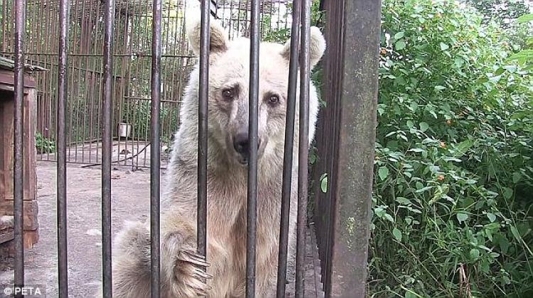 Medvěd strávil v kleci 30 let. Jeho reakce, když se dostal na svobodu, dohání svět k slzám