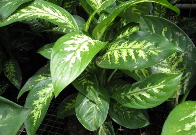 Pozor. Tato oblíbena pokojová rostlina může zabít dítě za 1 minutu a dospělého za 15 minut