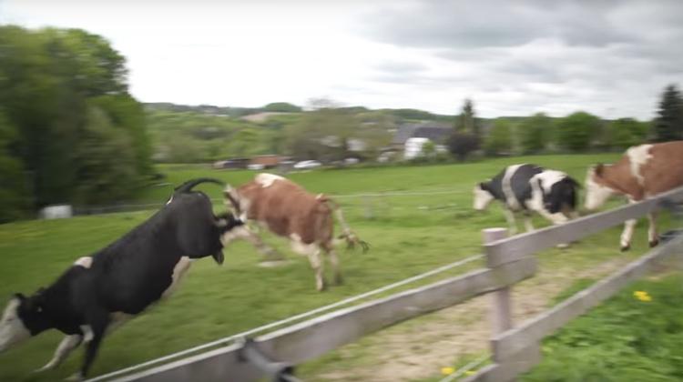 Tajný armádní test? Stádo krav ve Švýcarsku hromadně skočilo ze skály. Farmáři netuší proč